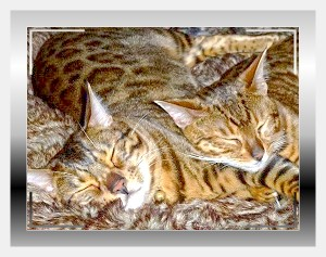 The Bengal Cat Club 2015 Website: Home of the Bengals in the UK and Worldwide:http://www.bengalcatclub.co.uk/