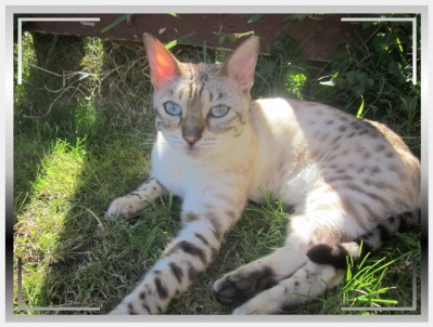 The Bengal Cat Club 2011 Website: Home of the Bengals in the UK and Worldwide:http://www.bengalcatclub.co.uk/